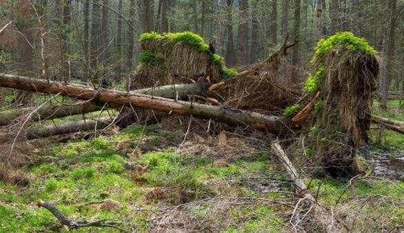 Urwald in Polen